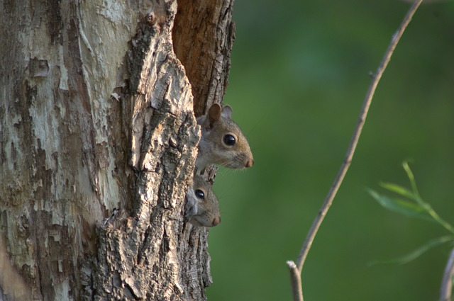 squirreltree