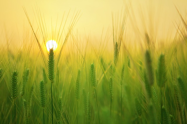sunwheat