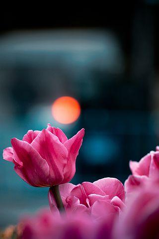 tulippic