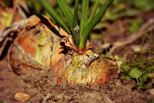 onionroot
