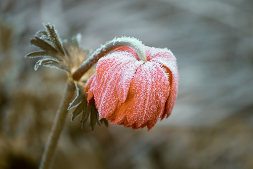 frozenblossom