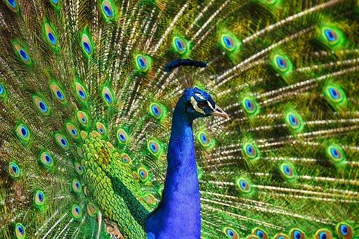 peacockme