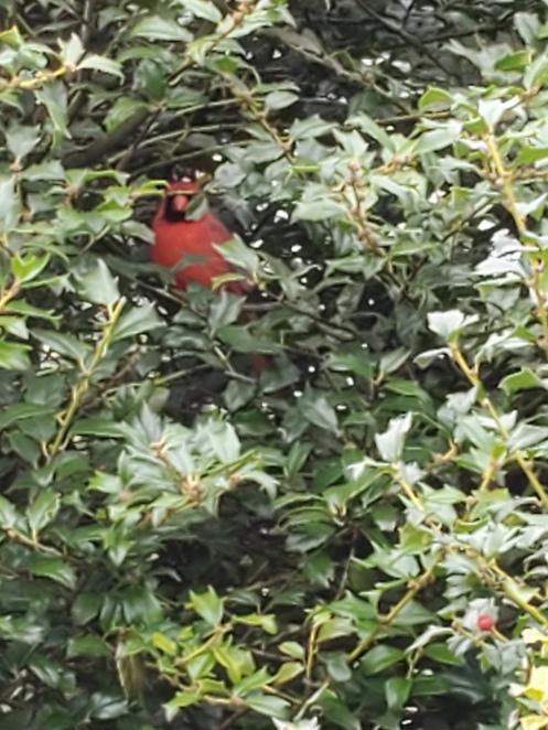 redbirdbush