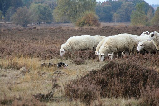 sheepd