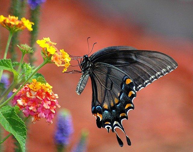 blacktailfly