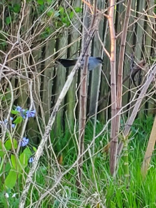 bluebeak