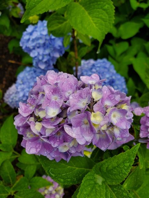 purplef