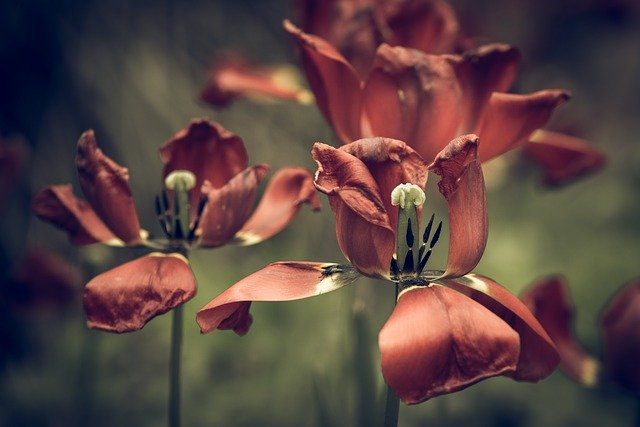 tulips-2277939_640